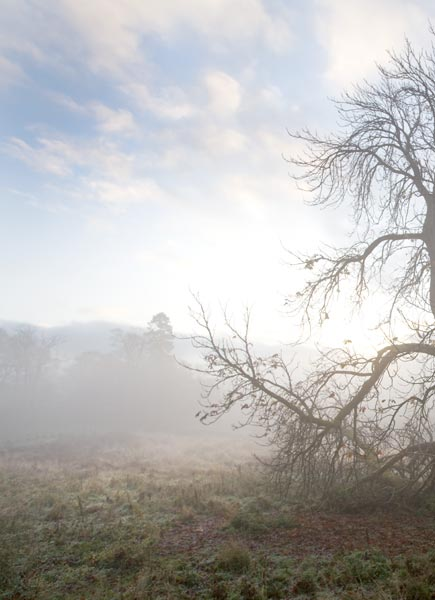 Chestnut tree and mist
